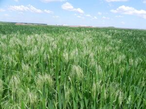Bromus spp. în grâu